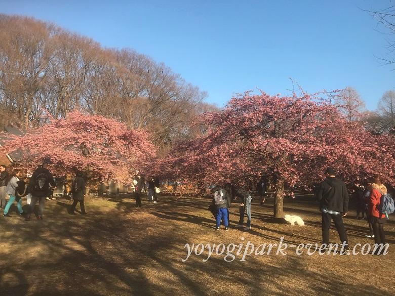 代々木公園桜