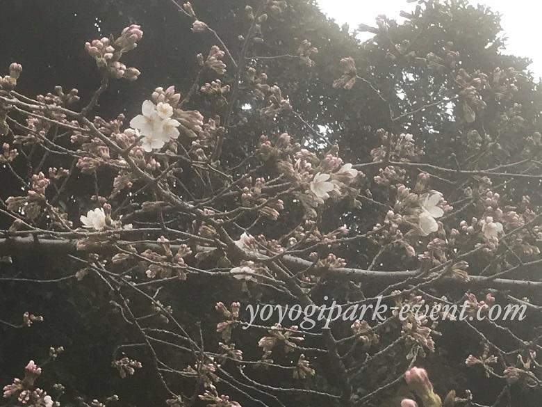 代々木公園の桜開花予想2018