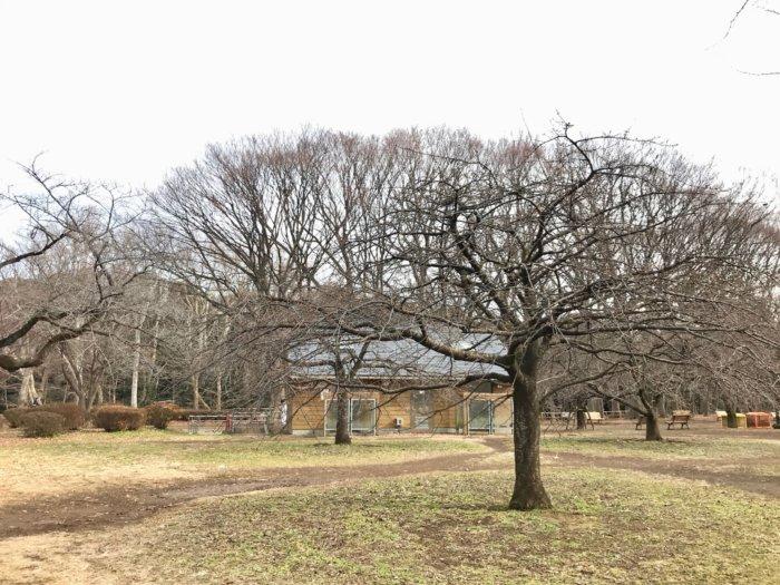 代々木公園の河津桜2020